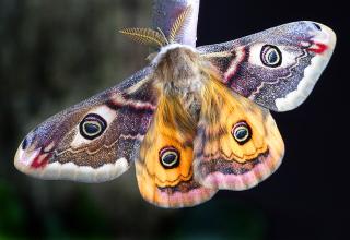 Moth-1720870_640