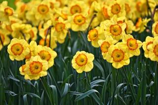 Daffodil-3349706_640