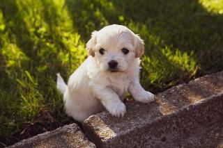 Puppy-4234435_640
